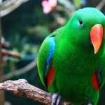 Eclectus-male