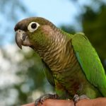 green-cheeked-conure