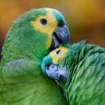 Amazon_parrots