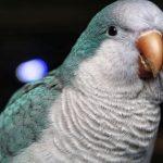 Blue-Quaker-Parrot